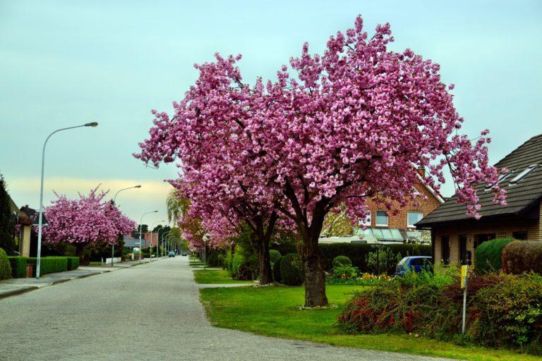 cherry tree outside house